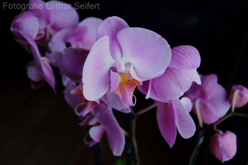 Orchidee Pink 1