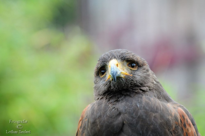 Grey Eagle Buzzard.jpg